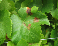 Lesions on young leaf in early season.